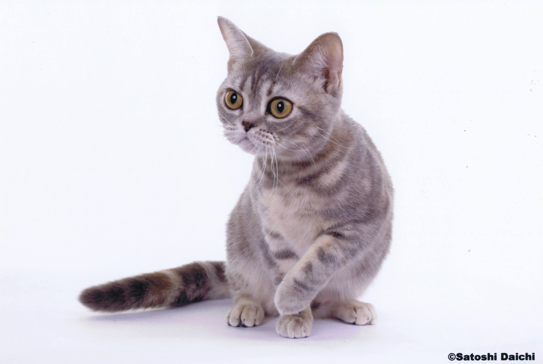 Blue Patched Tabby AMERICAN SHORTHAIR01