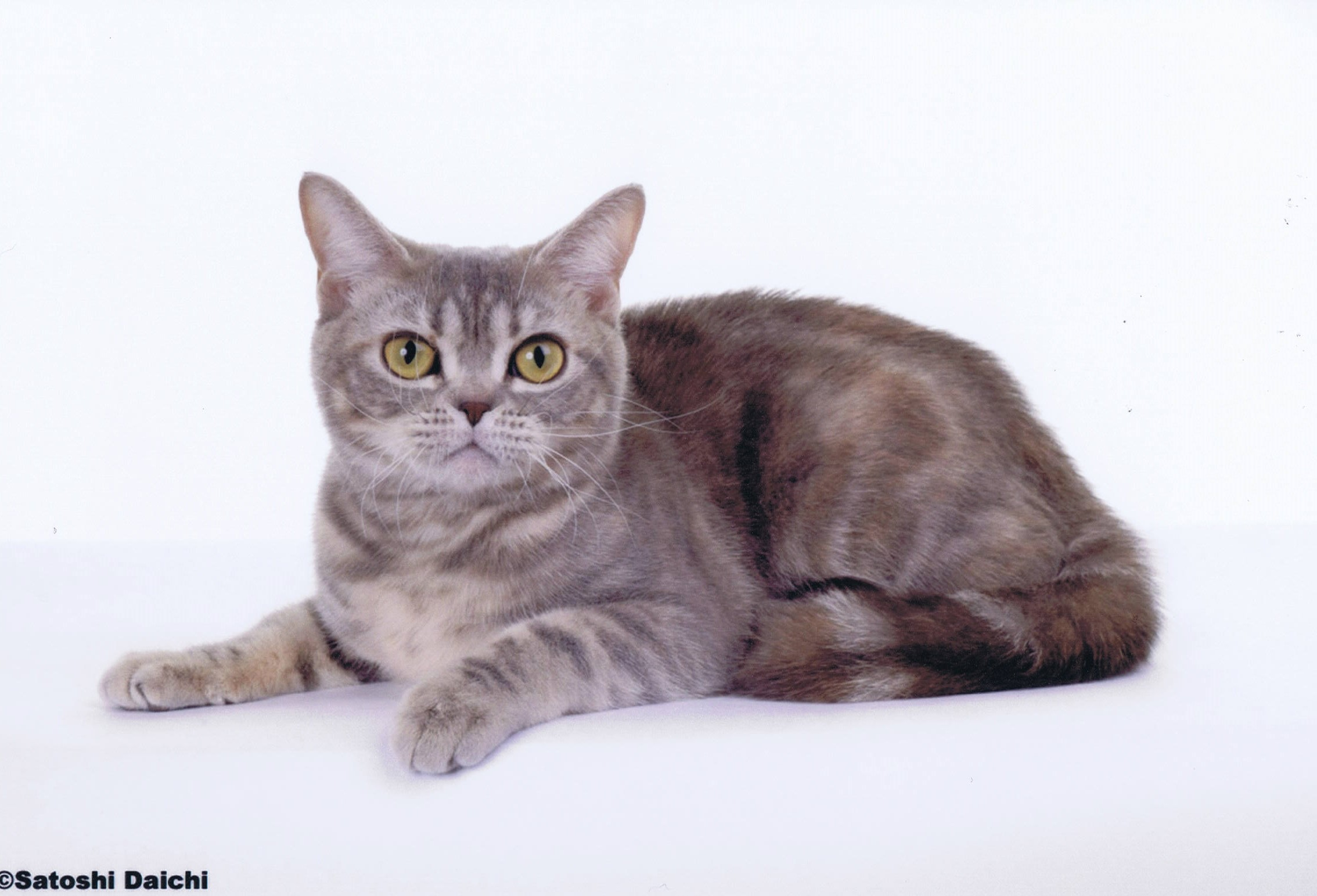 Blue Patched Tabby AMERICAN SHORTHAIR Female