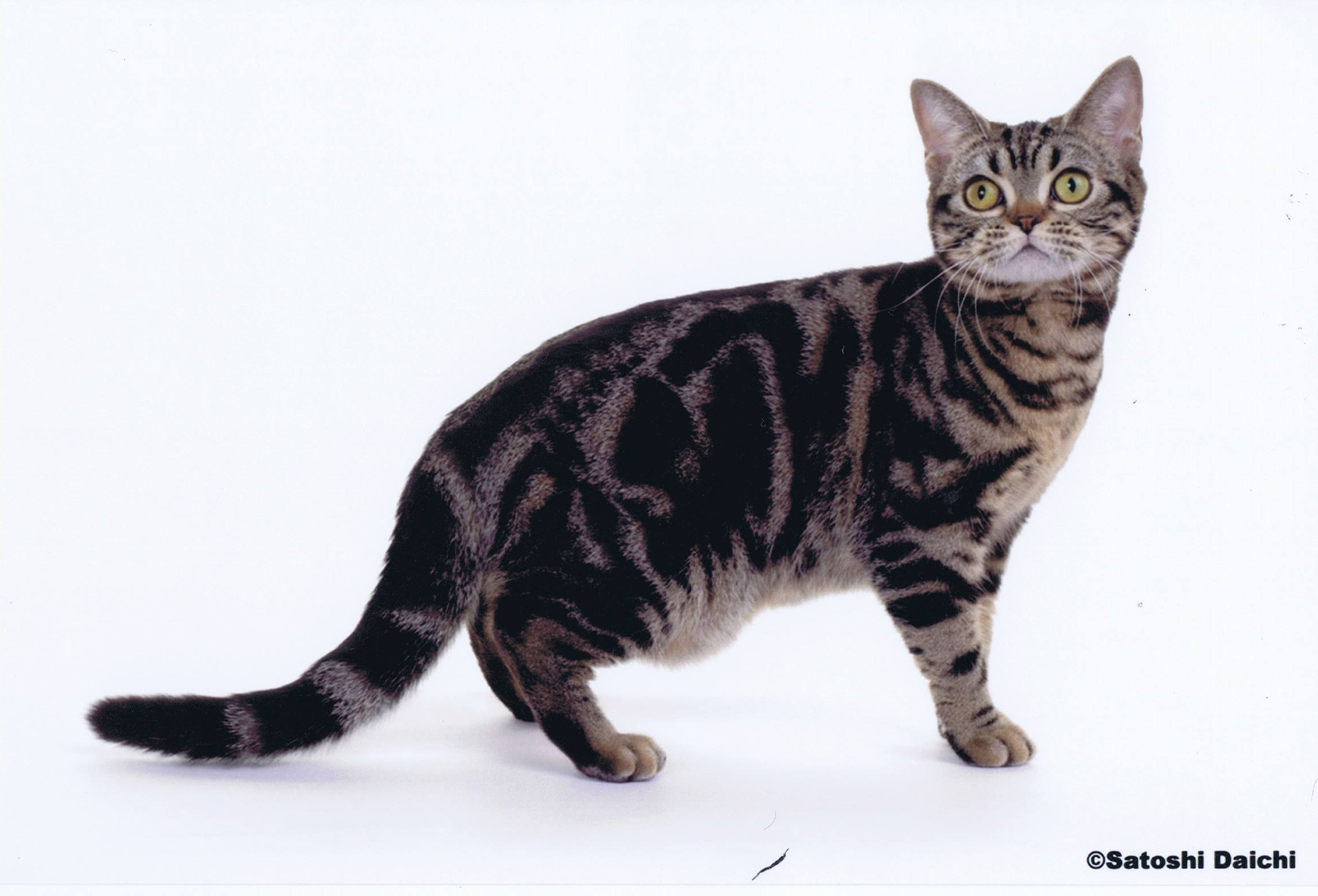Brown Classic Tabby AMERICAN SHORTHAIR Female